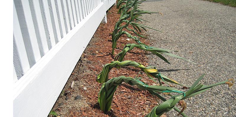 Platting Cape Cod Daffodils