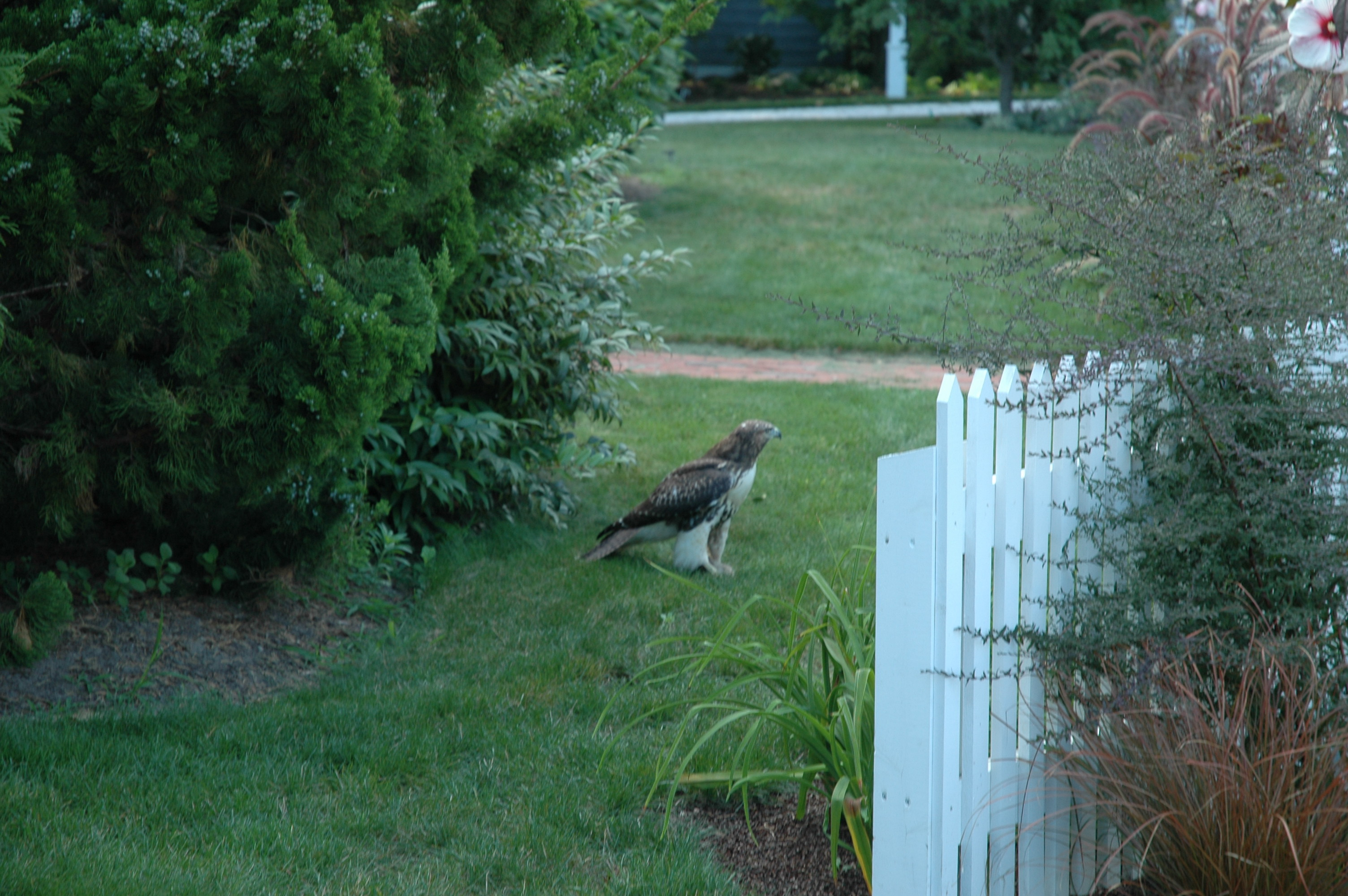 Red-Tailed Hawk in the front garden.