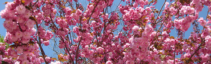 Cape Cod Bed & Breakfast Garden of Cherry Blossoms
