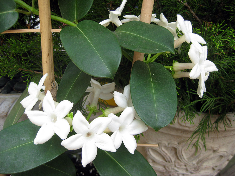 Fragrant Stephanotis at Cape Cod Bed and Breakfast