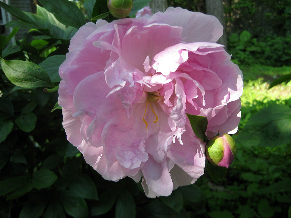 Peony in our Cape Cod bed and breakfast garden.