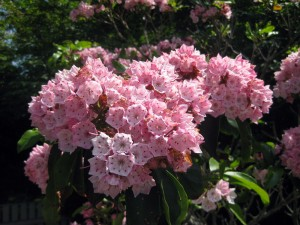 Cape Cod Mountain Laurel