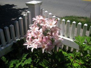 Cape Cod Lilly