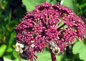 Angelica in the Garden