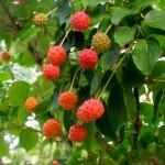 Cape Cod B&B Garden Kousa Dogwood Berries