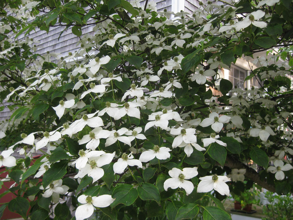 Cape Cod Bed and Breakfast Garden Kousa Dogwood Flowers.