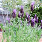 Lavender at the Inn