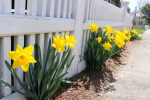 Daffodil Days @ Spohr Gardens | Falmouth | Massachusetts | United States