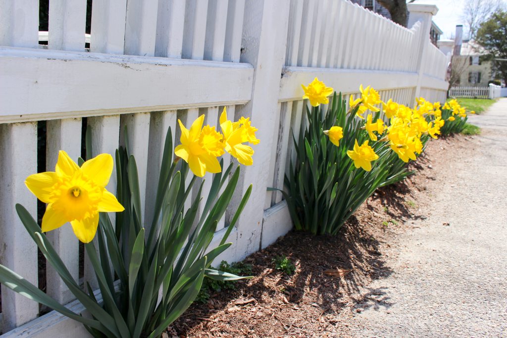 Daffodils by the fence.