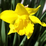 Capd Cod daffodil in the garden.