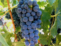 Wine Grapes on the Cape