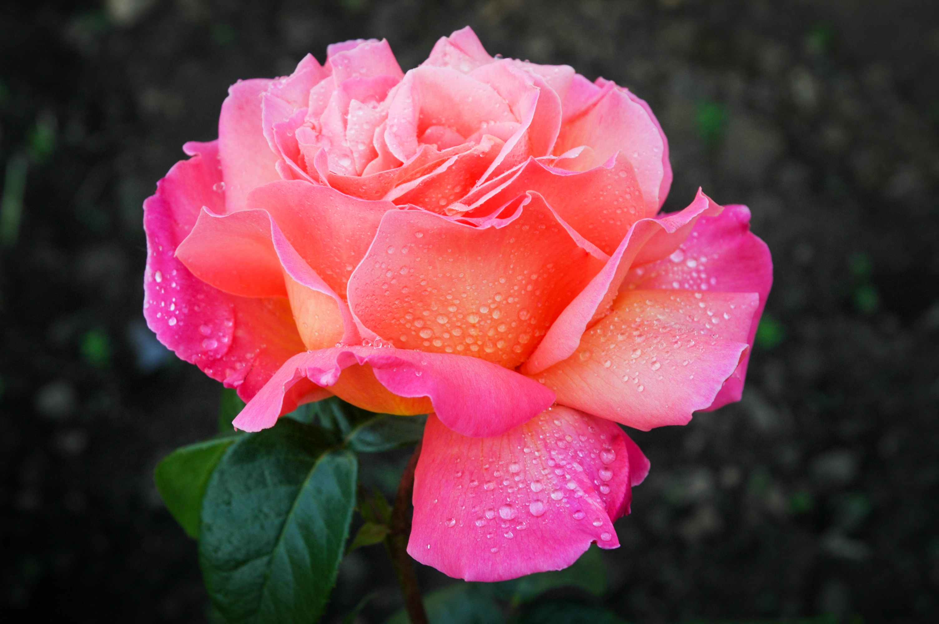 Cape Cod Bed and Breakfast Rose