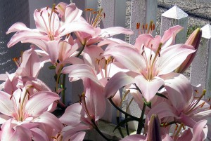 Lillies in the front garden.