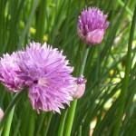 Cape Cop B&B Garden with purple flowers (detail)