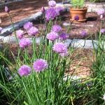 Cape Cop B&B Garden purple flowers