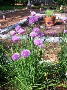 Purple blooms in the herb garden.