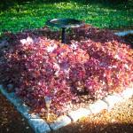 Shiso Tea Leaves in Cape Cod Garden