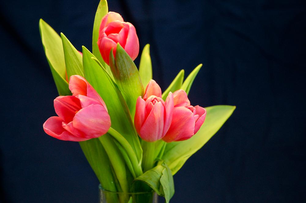 Spring break getaway pink tulips.