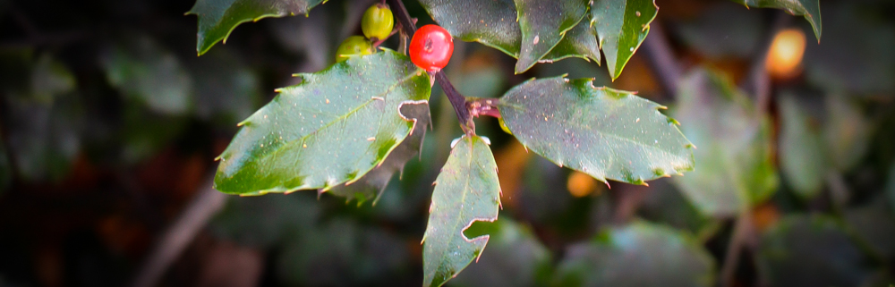 Cape Cod holiday holly detail.
