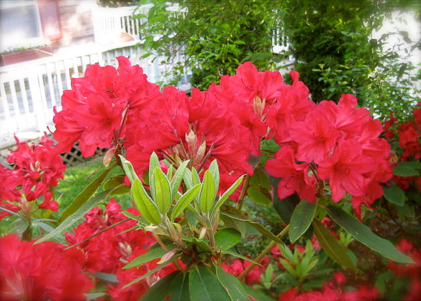 rhododendron bush at the Palmer House Inn