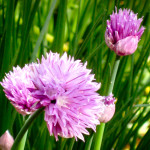 Chives in our Cape Cod Garden