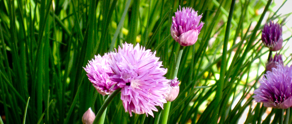 Chives in our Cape Cod Herb Garden