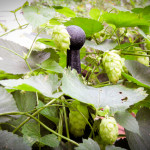 Cape Cod Garden hops