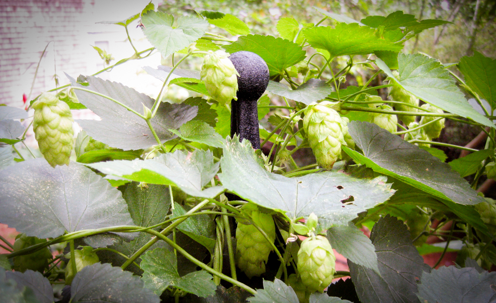 Cape Cod Herb Garden hops
