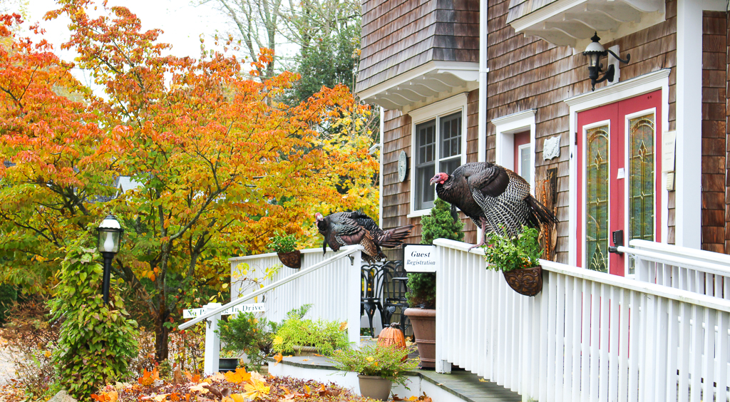 Cape Cod Thanksgiving Turkeys waiting to greet the guests this morning.