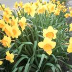 Beautiful Spring Daffodils
