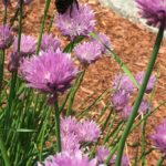 Bumble bee in the Cape Cod herb garden