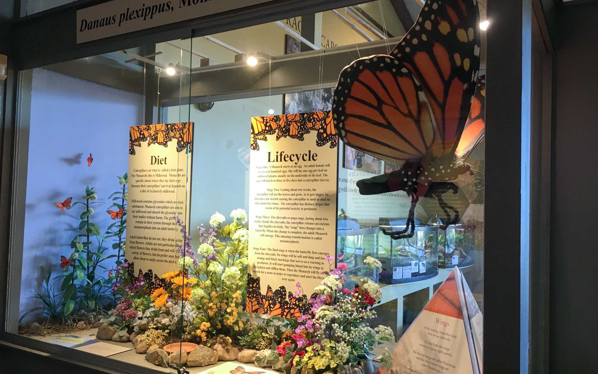 Monarch butterfly exhibit at the Cape Cod Museum of Natural History.