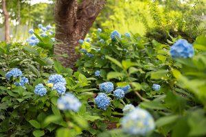 Blue flowers in the garden B&B in Cape Cod, MA