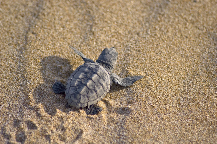 Sea Turtles in the Sand