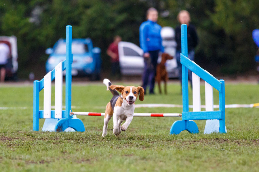 Dog competing in dog dog event in Cape Cod