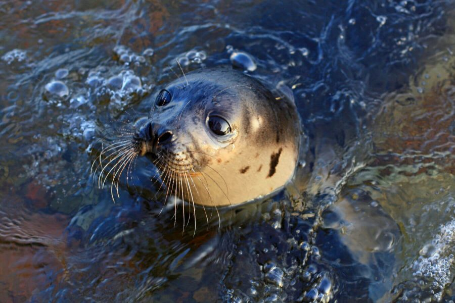a seal in the waters around Falmouth